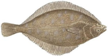 Fish Identification: Petrale Sole (Eopsetta jordani)