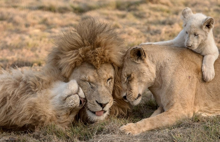 White Wolf : Pride of lions cuddle up in adorable photos in South Africa